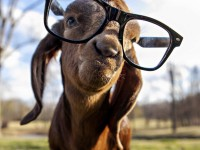 goat-with-glasses-1024x1024