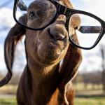 Conviene allevare capre 2?